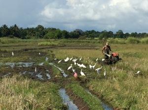 Egrets, not seagulls. Still hard work.