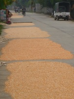 Drying corn. Hope it doesn't get run over by lorries, or cyclists.