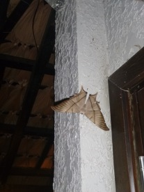 Huge moth. It's a swallowtail moth called Lyssa macleayi)