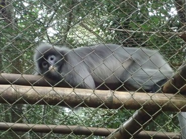 Langur, resting, as finally safe behind the fence.