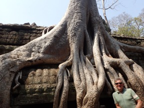 Big roots. Fig tree.