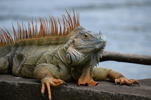 A fully mature Green Iguana. (Orange!)