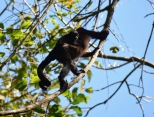Howler monkey, mum and baby