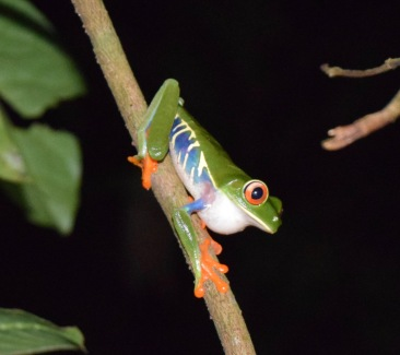 Red eyed tree frog. Why?