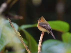 Tufted Flycatcher.