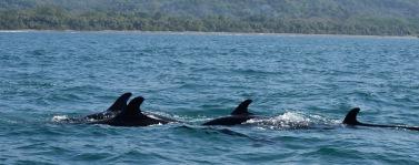 Orca (Fake)