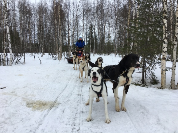 Alaskan Huskies. Keen, and soo much better that their Siberian brothers. Apparently.